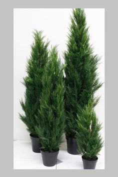 Conifer topiary