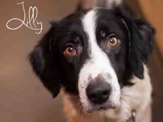 LILLY...PITTSBURGH, PA..Hello! I'm LILLY, a laid back 3 yr old sweetheart of a border collie in need of a new family...can you help me please? Adopt or foster me at WPHA Pitt, Pa...PetHarbor.com: Animal Shelter adopt a pet; dogs, cats, puppies, kittens! Humane Society, SPCA. Lost & Found.
