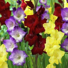 25 Count Gladiolus De Luxe Blend Bulbs at Lowe's. Today's gladiolus (or simply glads as they are quite often called) are larger and more beautiful than varieties years ago and produce lush sword like Gladiolus Bulbs, Gladiolus Flower, Planting Bulbs, Planting Flowers, Full Sun Perennials, Tall Plants, Bulb Flowers, Colorful Garden, Color Effect