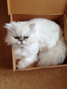 My beautiful silver chinchilla persian cat x