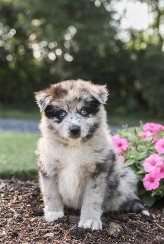 👋🌻Meet Max a #Unique colored #Pomsky puppy! He is a #Funloving and social puppy who is curious and loves to explore his surroundings. This little guy is sure to be the talk of the town.💜 #Charming #PinterestPuppies #PuppiesOfPinterest #Puppy #Puppies #Pups #Pup #Funloving #Sweet #PuppyLove #Cute #Cuddly #Adorable #ForTheLoveOfADog #MansBestFriend #Animals #Dog #Pet #Pets #ChildrenFriendly #PuppyandChildren #ChildandPuppy #BuckeyePuppies www.BuckeyePuppies.com