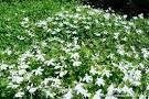 lobelia angulata - Google Search Google Search, Plants, Plant, Planets