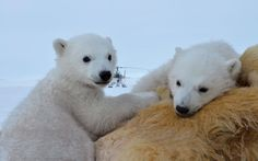 Wildlife cameraman Gordon Buchanan filmed a family of polar bears in Svalbard, in the northern-most region of Arctic Norway, for his three-part BBC series 'The Polar Bear Family and Me' to be aired in January 2013.  Picture: BBC / SWNS.com