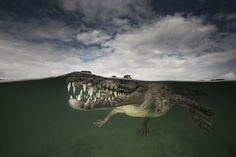 Schrecken und Schönheit unter Wasser - Alligator von Matt Smith
