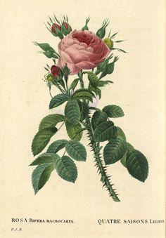Rosa Gallica Purpurea Velutina, Parva; Rosier de France ...