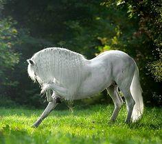 Pura Raza Española stallion, Armas Avellano, a renowned trick-trained exhibition horse. photo: Katarzyna Okrzesik.