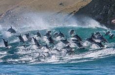 Acrobatic: Despite facing waves as big as eight feet, some of the more energetic dolphins were seen leaping six feet out of the sea
