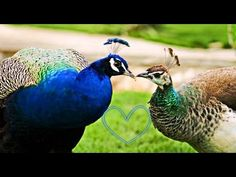 How peacock cares for a female Dark Skin Beauty, Pet Birds, Wildlife, Female, Peacocks, Animals, Youtube, Singing, Google