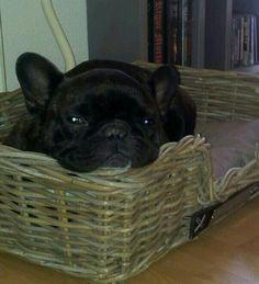 Budha, franse bulldog.