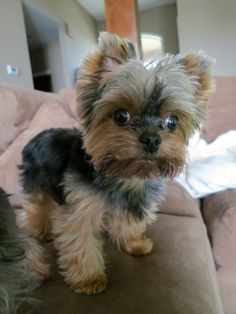 Our Yorkie...Gus Bug