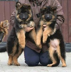 Wicked Training Your German Shepherd Dog Ideas. Mind Blowing Training Your German Shepherd Dog Ideas. Gsd Puppies, Cute Puppies, Cute Dogs, Fun Dog, German Shepherd Puppies, German Shepherds, West Highland Terrier, Working Dogs, Beautiful Dogs