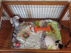 House training a cavachon puppy