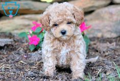 If you are looking for the cutest darn Toy Poodle puppy…then look NO further because you have found him! This love-bug will make a loyal, loving companion Toy Poodles For Sale, Toy Puppies For Sale, Toy Poodle Puppies, Pets For Sale, Teacup Puppies, Cute Puppies, Dogs And Puppies, Puppies Tips, Purebred Dogs