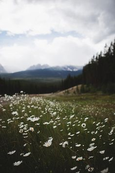 bow valley parkway, banff national park - so many wildflower pictures on this board, sorry, but they're beautiful