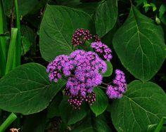 GardensOnline: Bartlettina sordida