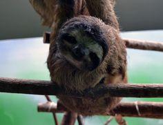 Sloth Sanctuary, Monteverde, Costa Rica | February 2011 #sloths #costarica