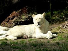 White lion Zoo de La Flèche - France ....