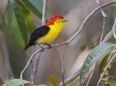 https://flic.kr/p/reSdk3 | rabo-de-arame - Nome Científico: Pipra filicauda (Spix, 1825) - Nome em Inglês: Wire-tailed Manakin | O rabo-de-arame é uma ave passeriforme da família Pipridae. Conhecido também como dançador-de-cauda-fina, irapuru, irapuru-de-cauda-longa, tangará, uiramiri, uiramirim, uirapuru-de-cauda-longa. Seu nome significa: do (grego) pipra, piprö, pipön, piprös = pequeno pássaro mencionado por Aristóteles e outros autores e que nunca foi devidamente identificado; e do…
