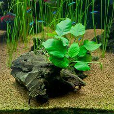Low Light Aquarium Foreground Plants   Anubias Barteri on Driftwood