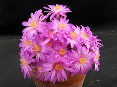 Mammillaria saboae  165