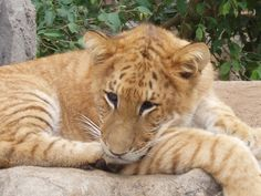 Baby Liger Has Science Gone Too Far? Or Not Far Enough? Visit for more Hybrid Animals!
