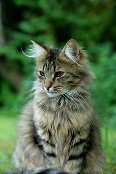 l love maine coons ♥