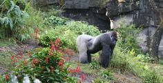 Photo I took of a Silverback Gorilla at Disney's Animal Kingdom, fall of 2013.