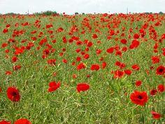 Poppies Flanders Field, Annie, Wild Flowers, Fields, Poppies, Gardens, Inspiration, Art, Trelleborg