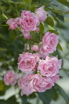 Rosa 'The Fairy' - hoogte 40 cm - bodembedekkende groeiwijze - zon - winterhard - bladverliezend - bloeitijd juni/oktober