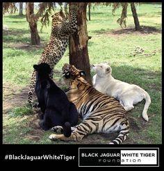 P U R E L O V E Michael, Dharma, Tierra, and Africa of the @blackjaguarwhitetiger foundation :) #TheBigPrideBJWT #SaveLions #SaveTigers #SaveJaguars #SaveLeopards #BeHuman #NOTpets #NoSonMascotas #SaveOurPlanet
