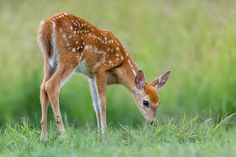 Feeding fawn in field...