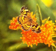 Pearly Crescentspot on Butterfly Weed (Asclepias tuberosa)                                                                Photo by CS Lent
