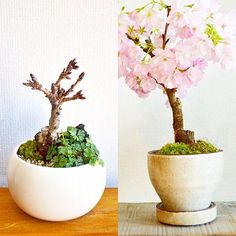 . 桜盆栽のワークショップのご案内です . ◻︎2月18日(土) ◻︎3月18日(土) ◻︎3月26日(日) . 各日共通 11:00-/13:00-/15:00- 参加費:3500円(材料費込) 場所:Kitowa 店内 . 小さな木に八重の花をたくさん咲かせる旭山桜。根元には、バイカオウレンを寄せ植えし、春を楽しむ、桜のミニ盆栽を作ります。 *樹高 約10〜12cm *鉢含む高さ 約18〜20cm . ご友人、ご家族、お一人でのご参加も大歓迎です。お申し込みはKitowaまで、お電話・メールにてお待ちしていますー . #桜 #盆栽 #教室 #ワークショップ #bonsai #mossgreenikkei #開花は3月中旬から下旬 #Kitowa #樹と環 #名古屋 #千種 #はじめての盆栽作りの方もぜひお待ちしています
