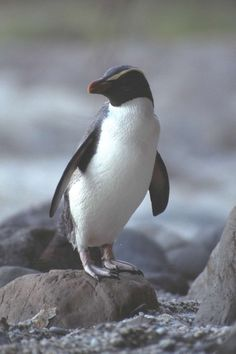 OMG! They have PENGUINS!!! Fiordland Crested Penguin to be exact.