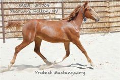 11/16 URGENT > FOR WILD HORSES < Please Help SARA (#1709) Get To Safety! She was passed over in the Internet Adoption and has another STRIKE against her. Adoption fee is $125.