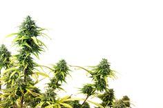 Health Czar Shows Amazing Ignorance About Marijuana Facts