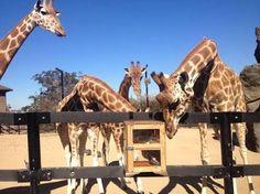 giraffe puzzle feeder - Google 検索