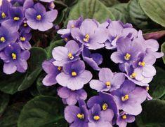 A violeta africana tem o nome botânico de Saintpaulia ionantha e pertence à mesma família das lindas gloxínias (Sinningia speciosa). Vamos aprender como cuidar das violetas e mantê-las sempre bonitas e floridas. Como...