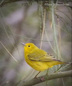 Yellow Warbler by cmescamilla, via Flickr