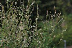 Prairie Moon Nursery: Desmodium sessilifolium (Sessile-leaf Tick Trefoil)