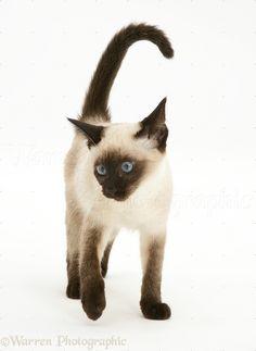 11023-Seal-point-Siamese-kitten-white-background.jpg (805×1104)