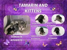 Safe - 4-21-2017 Brooklyn  Rescue: The Patricia Ladew Foundation Please honor your pledges: http://www.theladewcatsanctuary.org/donate/#/new-page-14/ STILL HERE!! Mom & Kittens Need You at BACC!  TAMARIN & Her 4 Babies!