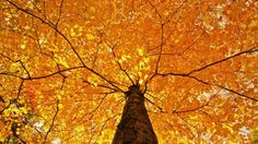 nature trees leaves color yellow autumn fall seasons foliage branches limb top wallpaper background