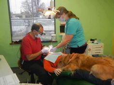 Este cão trabalha com um dentista, e ajuda a reduzir o estresse entre os pacientes mais jovens.