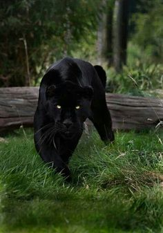 Black Panther Feline FB ...