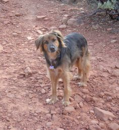 """""""Hmmm? Remy enjoying one of his first visits to El Portal Sedona and all the hiking excursions he could cram into a few days... — in Sedona, AZ."""" #ElPortalSedona  #SedonaGetaway  #petphotocontest"""
