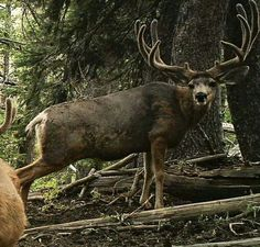 Mule Deer Buck, Mule Deer Hunting, Animals With Horns, Animals And Pets, Deer Hunting Videos, Big Deer, Deer Pictures, Deer Tattoo, Deer Family