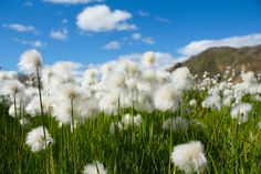 Free Image on Pixabay - Cotton Grass, Flowers, Iceland Free Pictures, Free Images, Felder, Natural Deodorant, Exotic Plants, Natural Cosmetics, Countries Of The World, Continents, Habitats