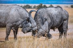 Free Image on Pixabay - Mammal, Wildlife, Animal, Safari Funny Animal Facts, Animal Facts For Kids, Funny Animal Videos, Animals For Kids, African Animals Facts, Animal Fact File, African Buffalo, Animals Information, Hunting Pictures