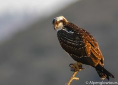 Osprey, Grand Teton National Park